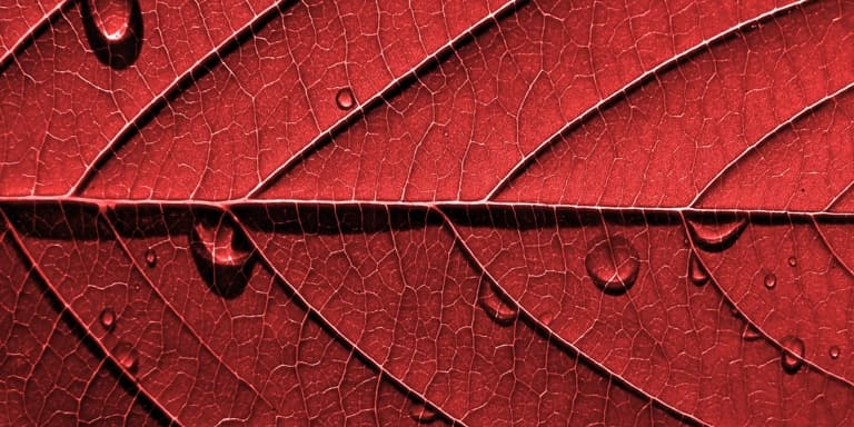 Close up of a dry, vibrant red autumn leaf with dew drops on it.